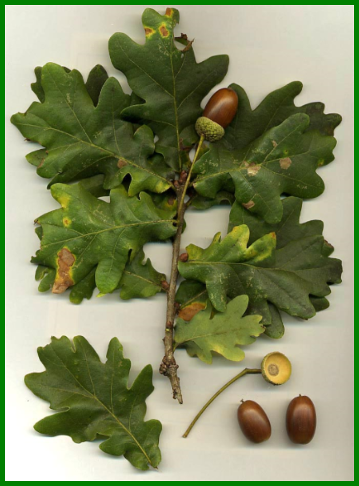 Acorn, fall forage
