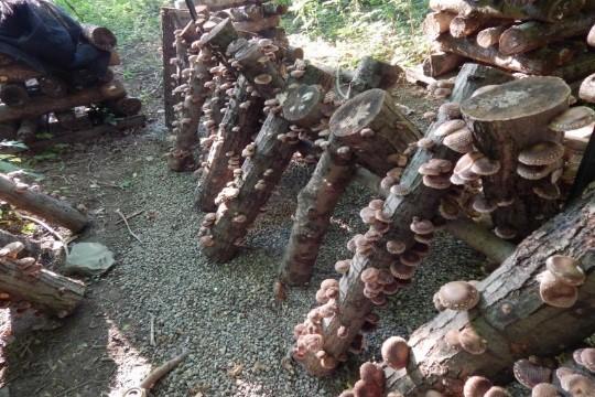 Log-grown Shiitake Mushrooms