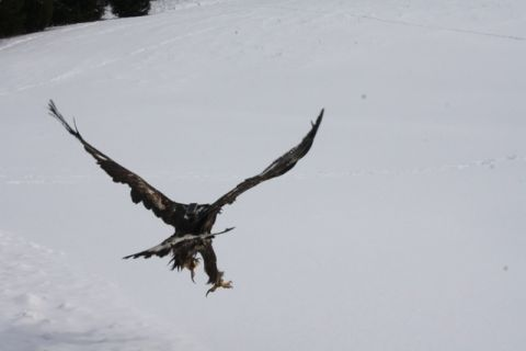 Max the golden eagle: An update | Watershed Post