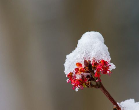 Snow on maple buds in Monticello on April 3