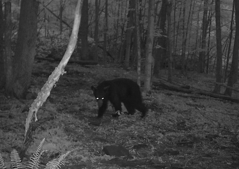 How to stay safe in Catskills black bear country   Watershed